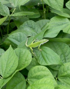 Carolina anole on beans