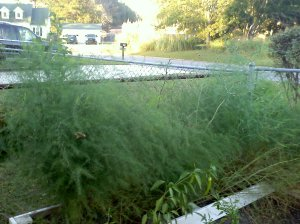 Asparagus fern Oct 2012~first year growth~