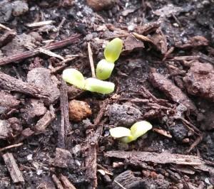 Black Seeded Simpson Lettuce 13Jan13