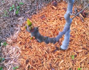Multiple leaf buds on fig