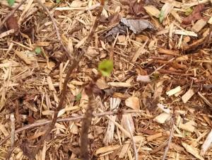 Hydrangea leaf bud