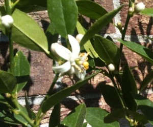 Key lime flower