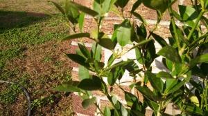 Key lime buds 11Jan13