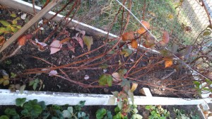 Raspberry bed 11Jan13