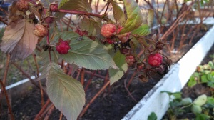 Raspberry stragglers 11Jan13