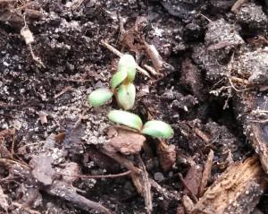 Red Romaine lettuce 13Jan13