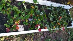 Strawberry bed 11Jan13