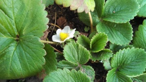 Strawberry flower Jan 2013