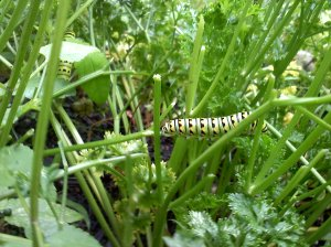 Black Swallowtail caterpillars on parsley