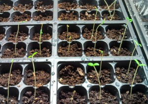 Tomatilloes and Tomatoes ~ 6 days old
