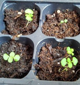 Coleus ~ 4 weeks post planting