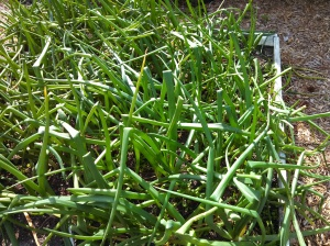 Red Creole onions ~ 19 weeks post planting