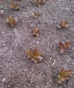 Red Sails lettuce ~ 4 weeks post planting