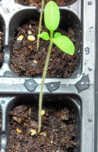 Riesentraube tomato with secondary leaves