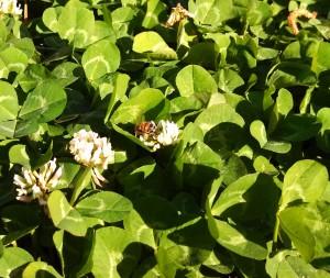 Bee on my clover