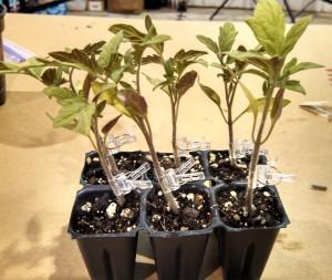 2013 Carolina Yard Gardening School ~ my grafted Cherokee Purple tomatoes