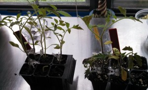 Tomatoes two weeks post grafting
