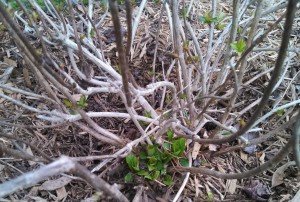 Hydrangea ~ new growth