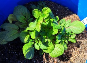 Purple potato ~ 6 weeks post planting
