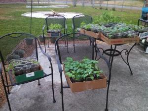 Seedlings tasting the outdoors