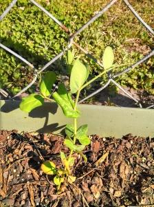 Snow peas ~ grabbing the fence