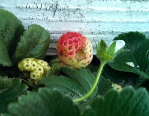 Strawberry turning red
