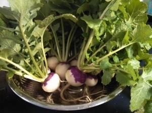 Purple Top turnip harvest