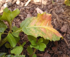 Nitrogen deficiency in a radish leaf