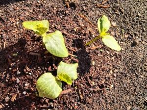 Amish Pie pumpkin seedlings