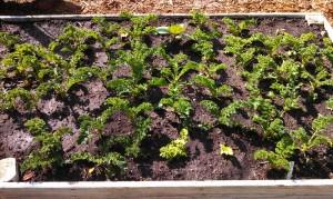 Eggplant & Celery among the kale