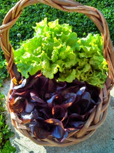 Black Seeded Simpson & Red Romaine lettuces