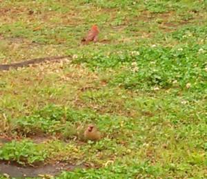 Cardinal couple in my yard