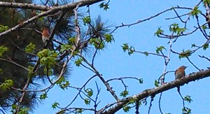 Eastern Bluebird couple in my tree