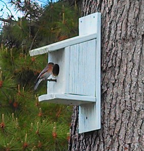 Female Eastern Bluebird ~ checking out my birdhouse