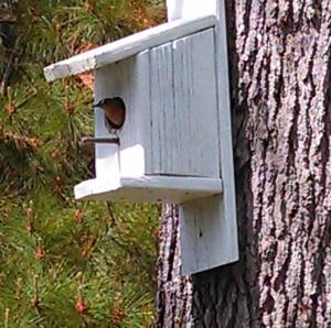 Female Eastern Bluebird ~ inside my birdhouse