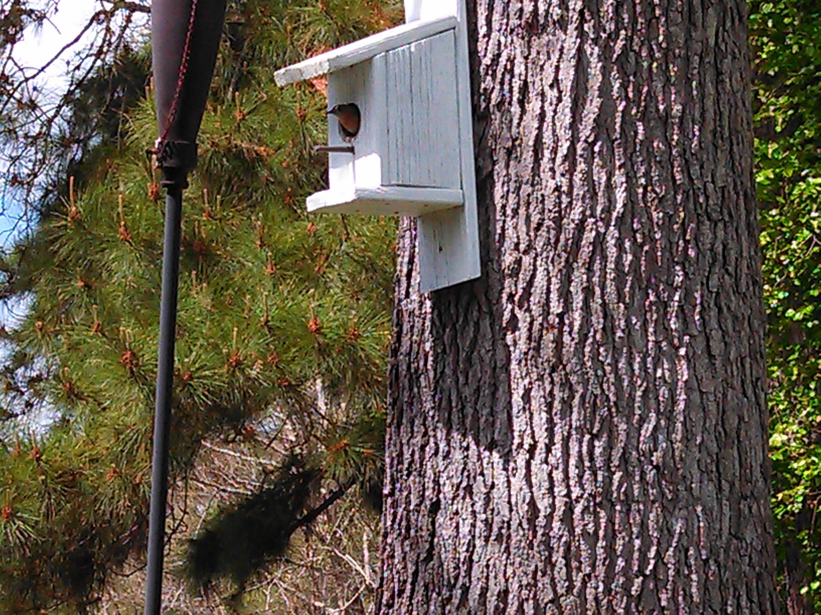 Free eastern bluebird house plans