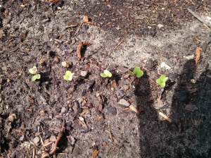 Icicle radish ~ 5 days post planting