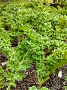 Kale ~ end of April