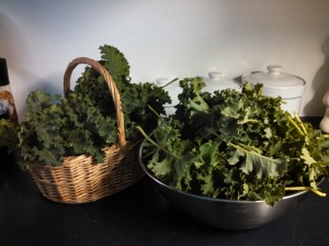 My kale harvest in March