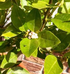 Key lime tree budding