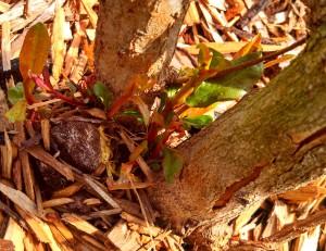Pomegranate new growth