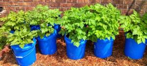 Potatoes in pots