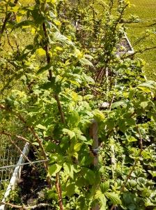Raspberry Canes