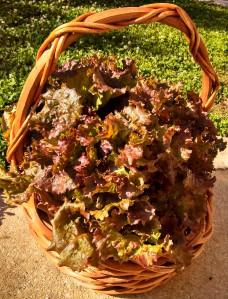 Red Sails lettuce harvest