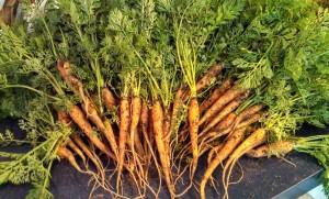 Scarlet Nantes carrot harvest