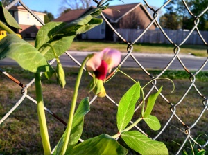 Snow pea flower ~ April 2013