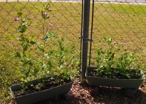 Snow peas ~ 10 weeks post planting