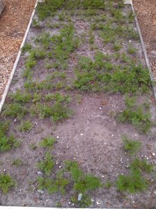 St. Valery carrot bed