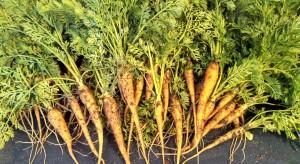 St. Valery carrot harvest