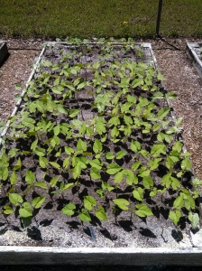 String bean bed with diatomaceous earth